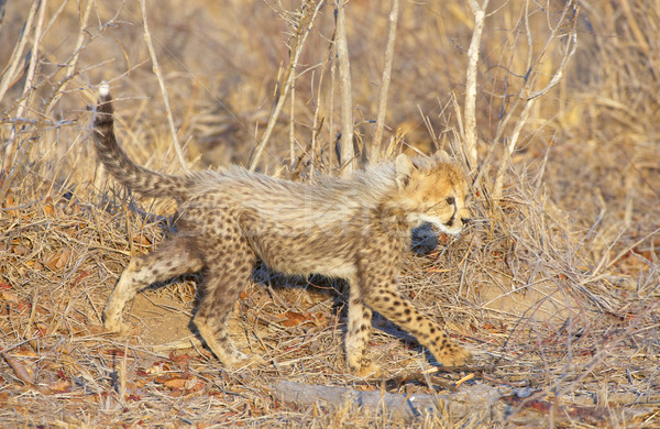 Cheetah welp lopen savanne South Africa natuur Stockfoto © hedrus