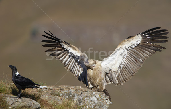 Dögkeselyű holló ül hegy Dél-Afrika madár Stock fotó © hedrus
