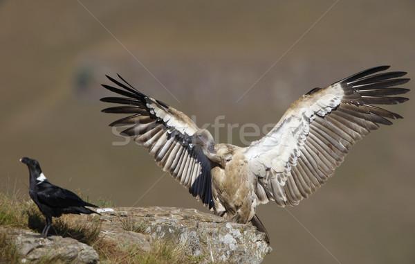 The Cape Griffon or Cape Vulture Stock photo © hedrus
