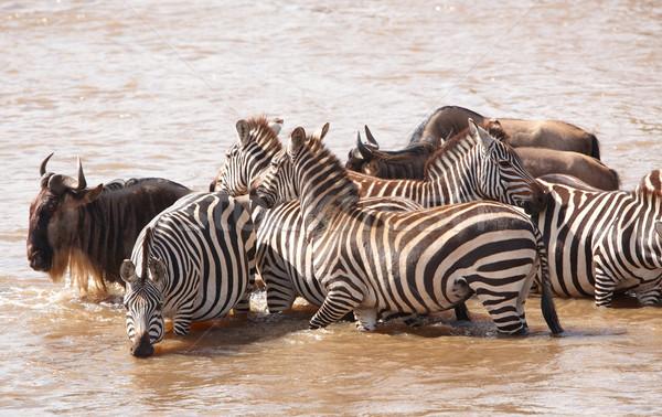 Nyáj zebrák afrikai kék folyó természet Stock fotó © hedrus