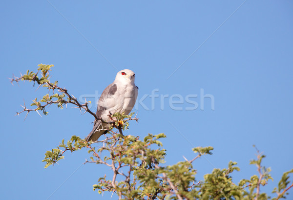 кайт сидят дерево ярко Blue Sky ЮАР Сток-фото © hedrus