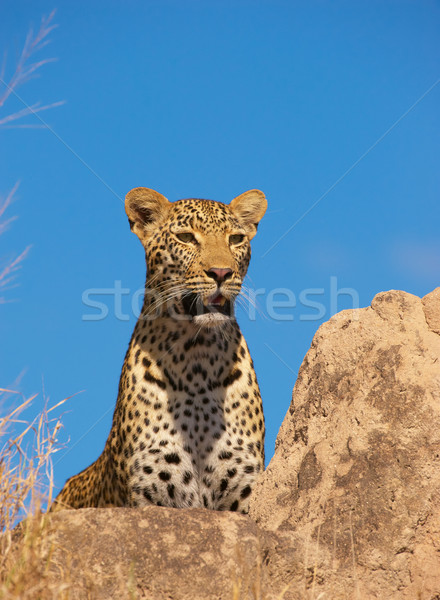 Leopard resting on the rock Stock photo © hedrus