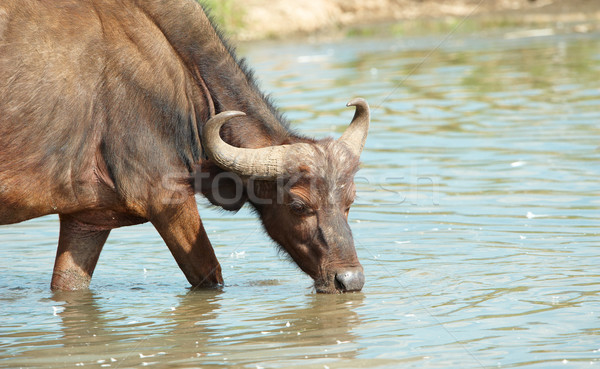Stock photo: Buffalo (Syncerus caffer) in the wild