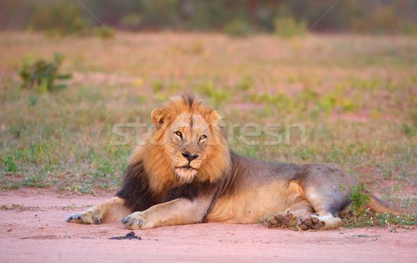 Oroszlán szavanna arc Dél-Afrika természet állat Stock fotó © hedrus