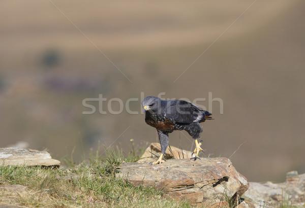 Urubu caminhada rochas África do Sul grama montanha Foto stock © hedrus