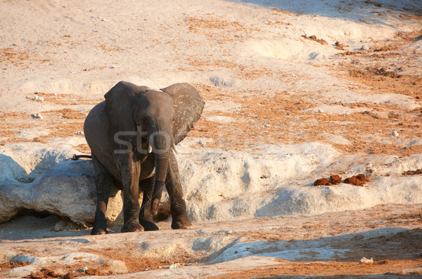 Small African elephant calf Stock photo © hedrus