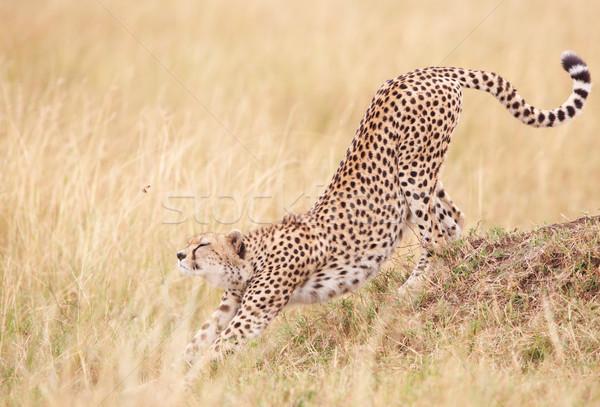 çita Güney Afrika genç erkek Stok fotoğraf © hedrus