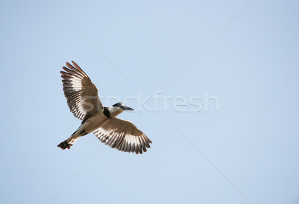 Pied Kingfisher (Ceryle rudis) Stock photo © hedrus