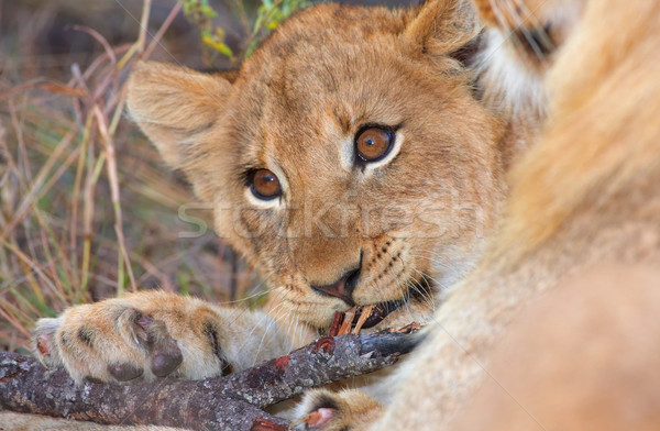 Сток-фото: лев · Stick · матери