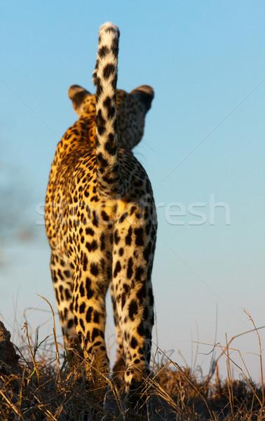 Leopard standing in savannah Stock photo © hedrus