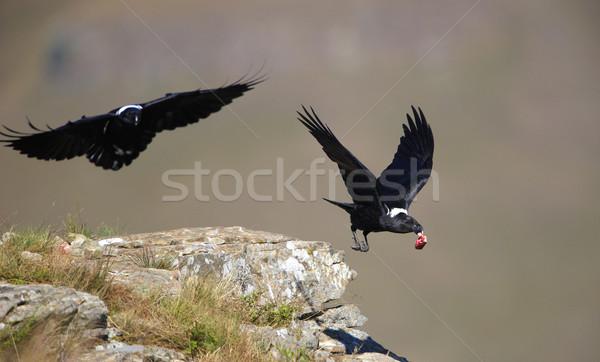 Uçuş Güney Afrika kuş et siyah hayvan Stok fotoğraf © hedrus