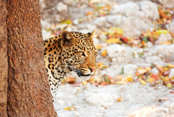 Leopard standing behind the tree Stock photo © hedrus