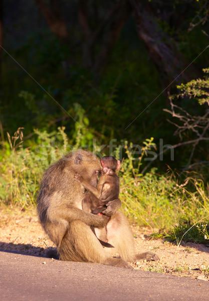 бабуин ребенка ЮАР природы матери обезьяны Сток-фото © hedrus