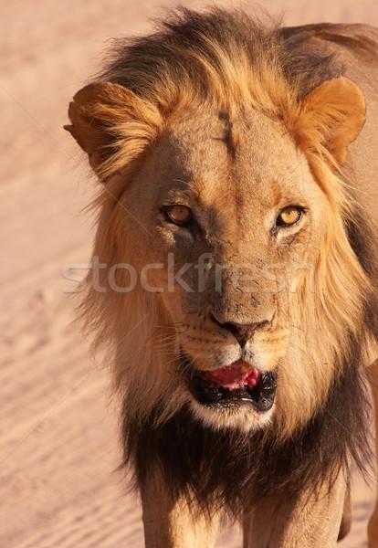 Oroszlán közelkép sétál szavanna Dél-Afrika fej Stock fotó © hedrus