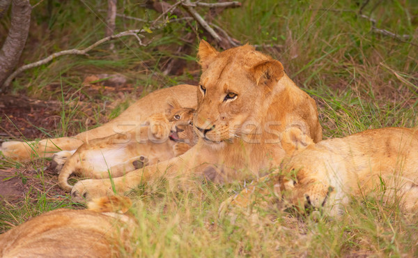 Lion (panthera leo) family in the wild Stock photo © hedrus
