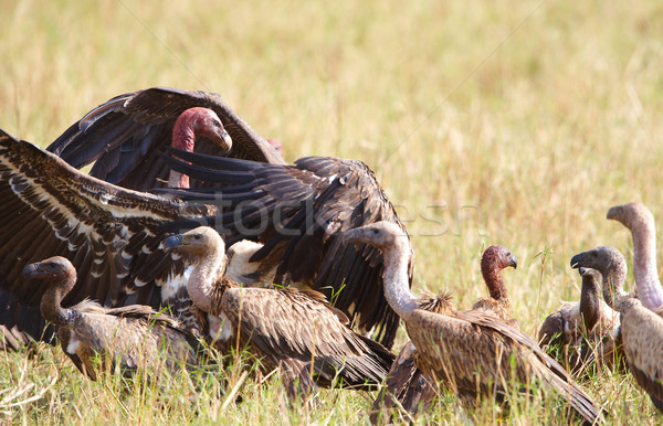 The Cape Griffon or Cape Vultures Stock photo © hedrus