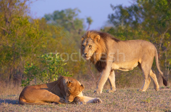 Lion (panthera leo) and lioness  Stock photo © hedrus