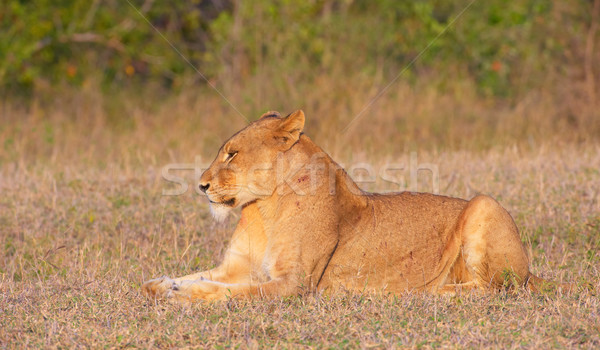 Lioness (panthera leo) in the wild Stock photo © hedrus