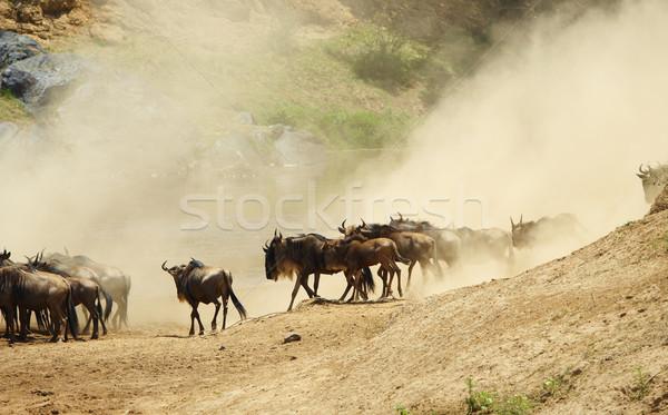 Herd of Blue wildebeest (Connochaetes taurinus) Stock photo © hedrus