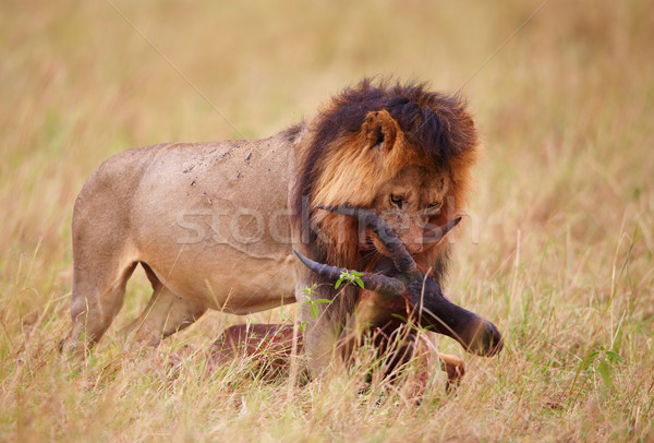 Single Lion (panthera leo) with a kill in savannah Stock photo © hedrus