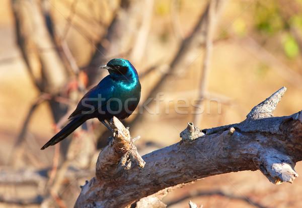 сидят филиала ЮАР птица синий парка Сток-фото © hedrus