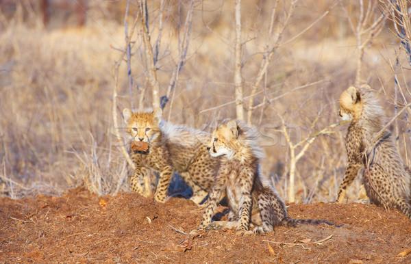 çita oynama Güney Afrika aile doğa Stok fotoğraf © hedrus