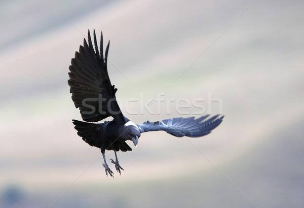 Raaf vlucht South Africa vogel zwarte alleen Stockfoto © hedrus