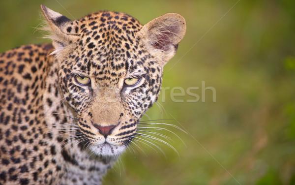 Leopard Постоянный трава саванна природы резерв Сток-фото © hedrus
