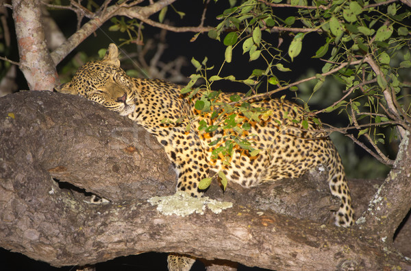 Leopard in the tree Stock photo © hedrus