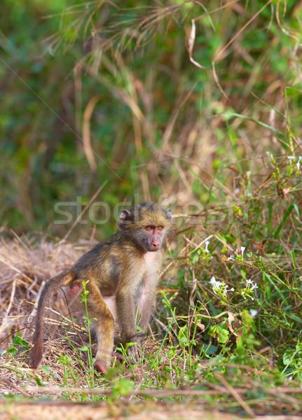 бабуин ребенка ЮАР природы обезьяны сидят Сток-фото © hedrus