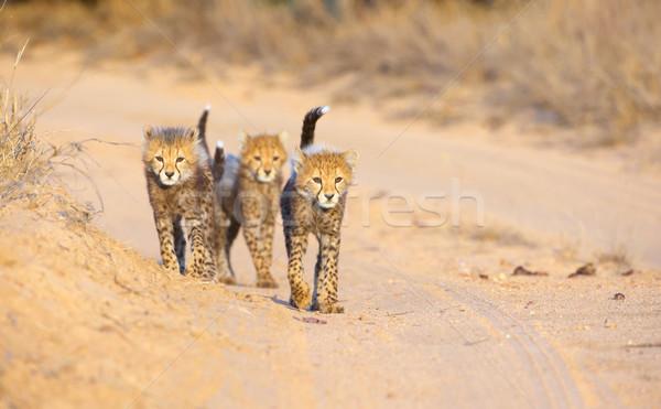 çita yürüyüş yol Güney Afrika aile Stok fotoğraf © hedrus