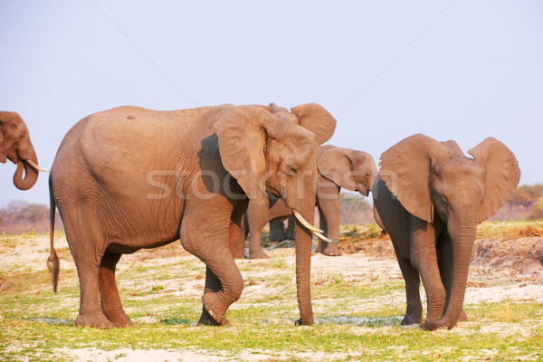 Large herd of African elephants Stock photo © hedrus