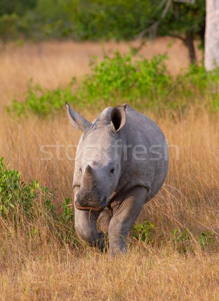 Baby calf white rhinoceros Stock photo © hedrus
