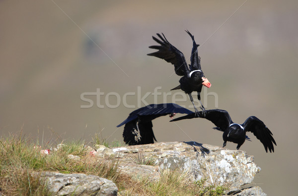 White-necked Ravens Stock photo © hedrus
