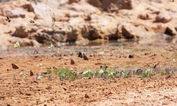 Swarm of butterflies Stock photo © hedrus
