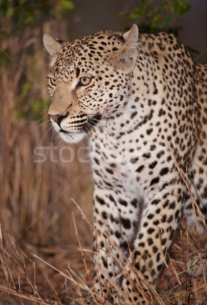 Leopard sitting alert in savannah Stock photo © hedrus