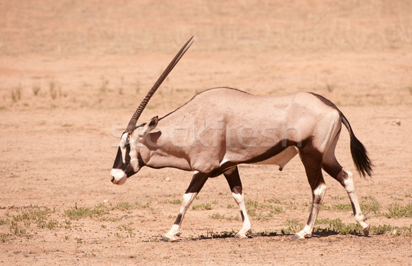 Single Gemsbok (Oryx Gazella)  Stock photo © hedrus