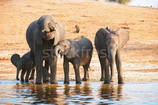 большой африканских Слоны питьевой реке Сток-фото © hedrus