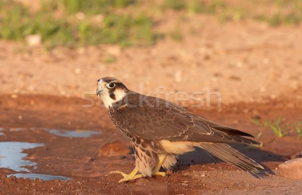 Falcon seduta acqua piscina Sudafrica panorama Foto d'archivio © hedrus
