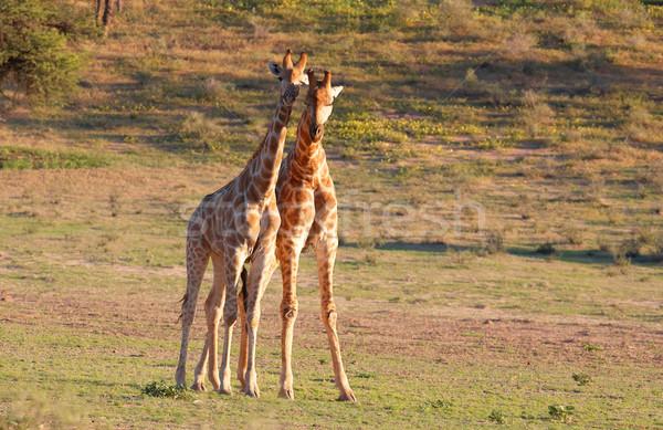 Dwa żyrafa charakter rezerwa Południowej Afryki trawy Zdjęcia stock © hedrus