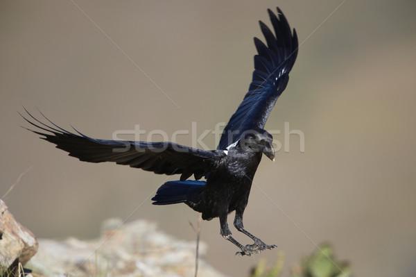 Corvo vôo África do Sul montanha pássaro rocha Foto stock © hedrus