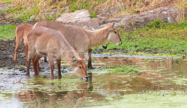 Csoport iszik víz medence természet tartalék Stock fotó © hedrus