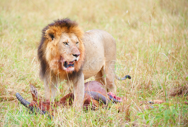 Single male Lion (panthera leo) in savannah Stock photo © hedrus