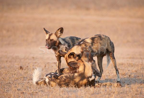 африканских собаки четыре Вымирающие виды Сток-фото © hedrus
