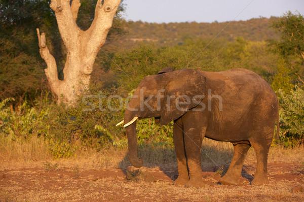 Nagy elefánt bika áll természet tartalék Stock fotó © hedrus