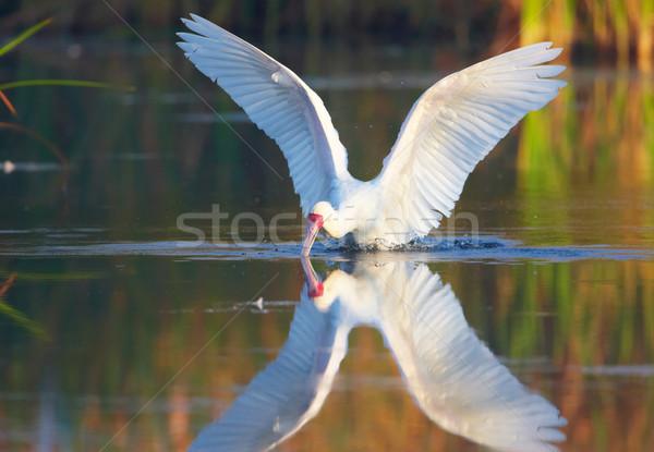 The African Spoonbill (Platalea alba) Stock photo © hedrus