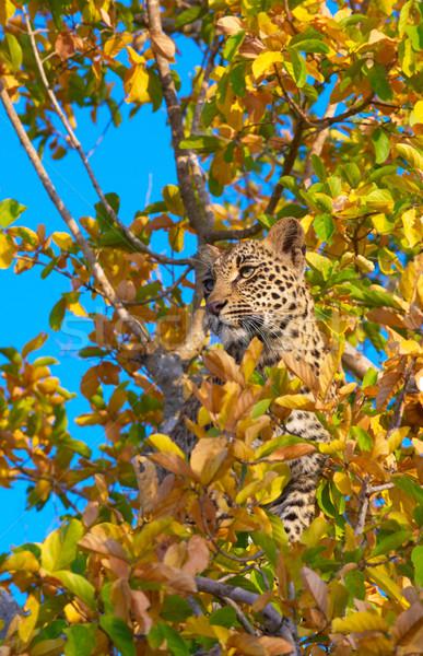 Leopar ayakta ağaç uyarmak doğa rezerv Stok fotoğraf © hedrus