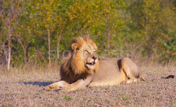 Stok fotoğraf: Aslan · Güney · Afrika · doğa · hayvan · erkek