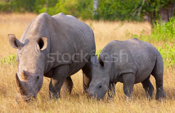 Large white rhinoceros with calf Stock photo © hedrus