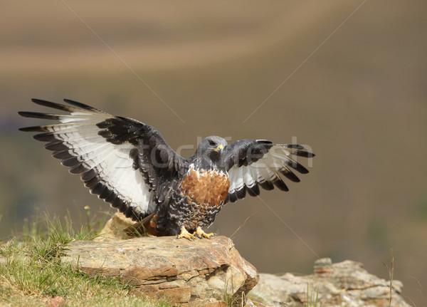 канюк сидят рок глядя добыча ЮАР Сток-фото © hedrus